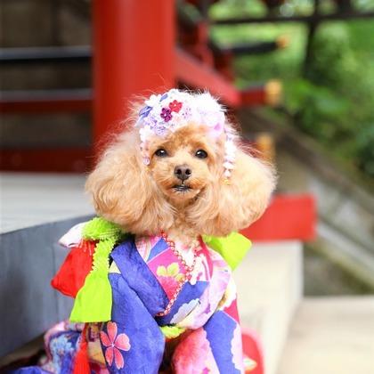 photographer Tomoの撮ったペット(犬)の七五三出張撮影の写真