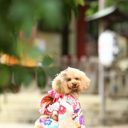 photographer Tomoの撮ったペット(犬)の七五三ロケーションフォト